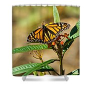 Monarch Butterfly On Plant With Eggs Shower Curtain