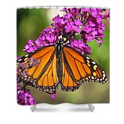 Monarch Hangs On To Buddleia Shower Curtain