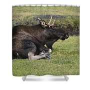 Moose At Rest Shower Curtain