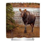 Moose Calf Shower Curtain