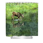 Moose Calf Testing The Water Shower Curtain