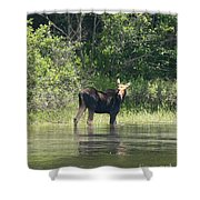 New Hampshire Grazing Cow Moose  Shower Curtain