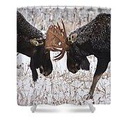 Moose Fighting, Gaspesie National Park Shower Curtain by Nicolas Bradette