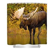 Moose In Glacial Kettle Pond  Shower Curtain