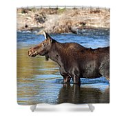 Moose On The  Gros Ventre River Shower Curtain