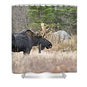 Moose Pictures 75 Shower Curtain