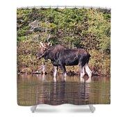 Moose_0591b Shower Curtain