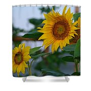 Morning Field Of Sunflowers Shower Curtain