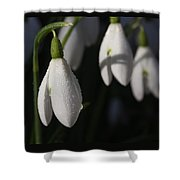 Morning Snowdrops Shower Curtain