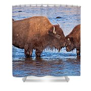 Mother And Calf Bison In The Lamar River In Yellowstone National Park Shower Curtain