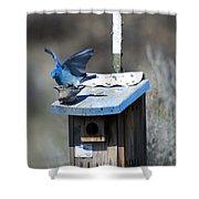 Mountain Bluebirds Mating Shower Curtain