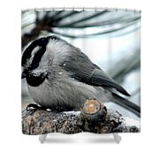 Mountain Chickadee During A Light Snow Shower Curtain