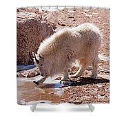 Mountain Goat Breaking Ice On Mount Evans Shower Curtain