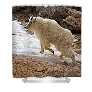 Mountain Goat On Snowfield On Mount Evans Shower Curtain