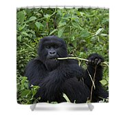 Mountain Gorilla Eating Wild Celery Shower Curtain