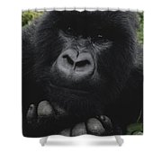 Mountain Gorilla Juvenile Portrait Shower Curtain