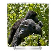 Mountain Gorilla With Infant  Shower Curtain