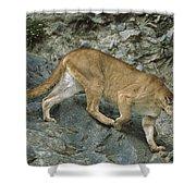 Mountain Lion Crossing Rocky Terrain Shower Curtain