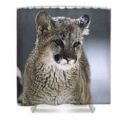 Mountain Lion Cub In Snow Montana Shower Curtain