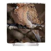 Mourning Dove Pictures 32 Shower Curtain