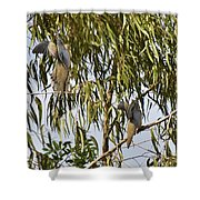 Mourning Doves Landing In Eucalyptus  Shower Curtain