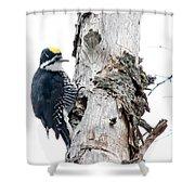 Mr. Black-bscked Woodpecker Shower Curtain