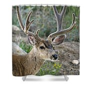 Mule Deer Buck In Velvet Shower Curtain