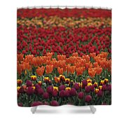 Multi-colored Tulip Fields  Shower Curtain