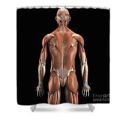 Muscles Of The Upper Body Rear Shower Curtain