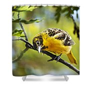 Musing Baltimore Oriole Shower Curtain