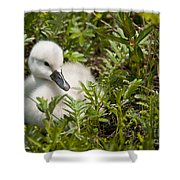 Mute Swan Pictures 210 Shower Curtain