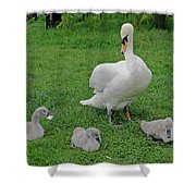 Mute Swan With Cygnets Shower Curtain