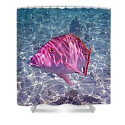 Mutton Encounter Shower Curtain