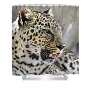 Naples Zoo - Leopard Relaxing 1 Shower Curtain