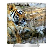 Naptime For A Bengal Tiger Shower Curtain