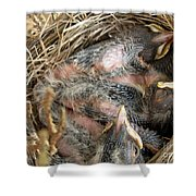 Nest Of American Robins Shower Curtain