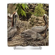 Nesting Brown Pelicans Shower Curtain
