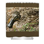 Nesting Mallard Shower Curtain