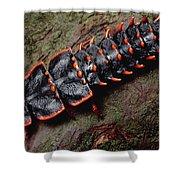Net-winged Beetle  Borneo Shower Curtain