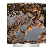 New Blossoms - Old Almond Tree Shower Curtain