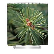 New Blue Spruce Buds Shower Curtain