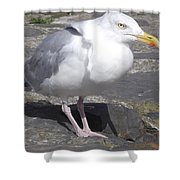 New Quay Gull 1 Shower Curtain