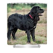 Newfoundland Dog, Standing In Field Shower Curtain