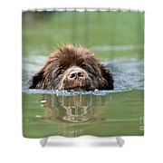 Newfoundland Dog, Swimming In River Shower Curtain