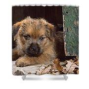 Norfolk Terrier Puppy By Barn Door Shower Curtain