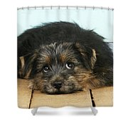 Norfolk Terrier Puppy Shower Curtain