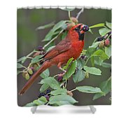 Northern Cardinal Shower Curtain