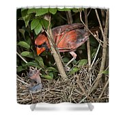 Northern Cardinal At Nest Shower Curtain