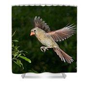 Northern Cardinal Hen Shower Curtain