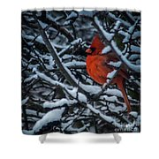 Northern Cardinal In Winter Shower Curtain